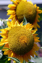 Helianthus annuus Stock Photos
