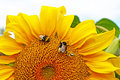 Helianthus annuus bumblebees and bees collect nectar from a blooming sunflower Royalty Free Stock Photo