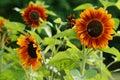 Helianthus annuus sunflower seeds of ripen sunflowers Stock Images