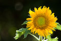 Helianthus annuus yellow flower common sunflower Stock Image