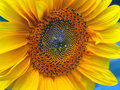 Helianthus part of one flourishing sunflower isolated Stock Photo