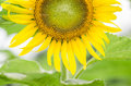Helianthus or sunflower in the garden nature park Stock Photography