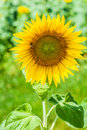 Helianthus sunflower is a genus of plants comprising about species in asteraceae family all of which are native to north america Royalty Free Stock Images