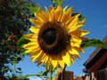 Helianthus or sunflower growing in the sunlight Stock Image
