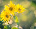 Helianthus tuberosus Royalty Free Stock Photo