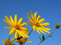 Helianthus tuberosus yellow flowers Royalty Free Stock Photo