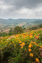 Helichrysum everlasting flower field from loei province thailand Stock Images