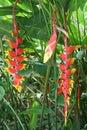 Heliconia Bihai Flower Red Pal...