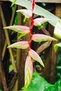 Heliconia Bihai Flower ,Tropic...