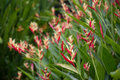 Heliconia bush Plants and Flowers