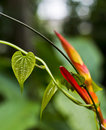 Heliconia flower with heart-shaped leaf wrapped around it