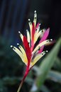 Heliconia flower heliconia psittacorum with blurry background Stock Images