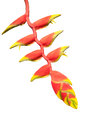 Heliconia Flowers.