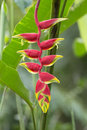 Heliconia, Hanging Lobster Claw, Heliconia rostrata