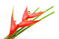 Heliconia isolated