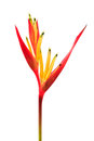 Heliconia, Lady Di Heliconia, Parakeet Flower on white backgroun