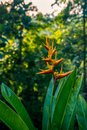Heliconia latispatha inflorescences blooming flower in rain forest