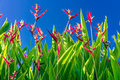 Heliconia psittacorum flower field with blue sky
