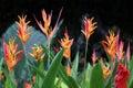 Heliconia Psittacorum flower Plant