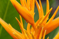Heliconia Psittacorum, golden torch flower in Malaysia