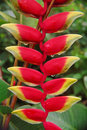Heliconia with Rain Drops Stock Photography