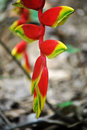 Heliconia Rostrata Stock Photo