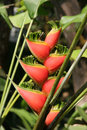 Heliconia Tropical plant