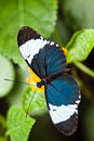 Heliconius cydno tropical butterfly Royalty Free Stock Photo
