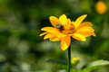 Heliopsis beautiful yellow flower with a beetle geliopsis outdoors Stock Photography