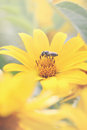 Heliopsis the family asteraceae tinted beautiful yellow flower many years Stock Photo