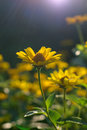 Heliopsis helianthoides sunflower like composite flowerheads commonly called ox eye or oxeye Stock Photography