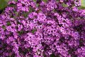 Heliotrope Stock Photography