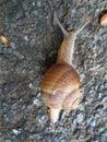 Helix pomatia also Roman snail, Burgundy snail Royalty Free Stock Photo