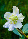 Helleborus niger in bloom christmas rose Royalty Free Stock Images
