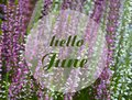 Hello June greeting card with text on a blooming pink and white heather natural floral background.Summer season concept. Royalty Free Stock Photo