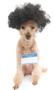 Hello my name is nerd dog a poodle with big hair wearing a blank sticker isolated on a white background Stock Photography