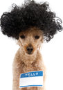 Hello my name is sticker on big haired dog a poodle with and a blank isolated a white background Royalty Free Stock Photos