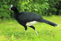 Helmeted curassow Stock Photography