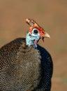 Helmeted guinea fowl numida meleagris portrait Royalty Free Stock Images