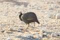 Helmeted Guinea Fowl running in the desert of Etosha Royalty Free Stock Photo