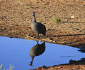Helmeted Guineafowl Royalty Free Stock Photography