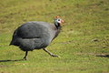 Helmeted guineafowl Royalty Free Stock Photos
