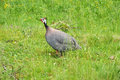 Helmeted Guineafowl Stock Images