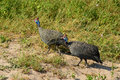 Helmeted guineafowl birds the numida meleagris is the best known of the bird family Royalty Free Stock Images