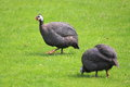 Helmeted guineafowl the couple of Royalty Free Stock Photos