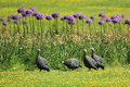 Helmeted guineafowl the group of on the grass Stock Images