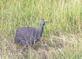 Helmeted guineafowl numida meleagris the is the best known of the bird family kenya national park masai mara Stock Photography