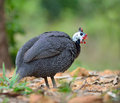 Helmeted guineafowl numida meleagris on grass thailand Stock Photography