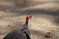 Helmeted guineafowl numida meleagris a portrait of a Stock Photography