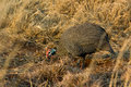 Helmeted guineafowl numida meleagris single male feading on the ground Royalty Free Stock Image